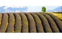 """Lavande chinoise : les producteurs de Provence veulent jouer """"l'authentique"""""""