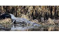 Les alligators de Louisiane, appréciés des horlogers, menacés de famine