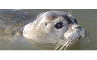 Косметическая компания Lush Fresh Handmade Cosmetics протестует против охоты на морских котиков