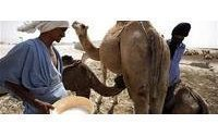 Camel milk: put it on your face as well as drink it