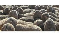 Finisce in discarica lana di 8 mln di pecore italiane