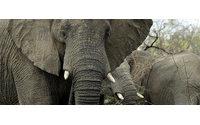 Bijoux en poils d'éléphant : prison avec sursis pour le grossiste