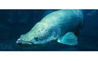 Un pez gigante del Amazonas se convierte en pieza de pasarelas de moda