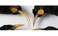 Nueva Zelanda subasta la pluma de un pájaro extinguido por culpa de la moda
