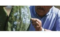 Spanish island grows bugs to dye from