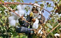 Egito cultiva o renascimento do algodão