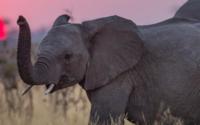 Tierschützer: Elefanten in Myanmar werden für Cremes gehäutet