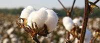 ICE world cotton contract on track for launch this year