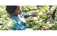 Hindistan: Yarım milyon çocuk pamuk tarlalarında