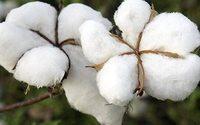 Wieviel GOV ist in GOTS-zertifizierte Bio-Baumwolle enthalten