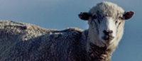 Patagonia interrompt son sourcing en laine auprès d'Ovis 21