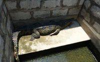 Зоозащитники призвали отказаться от крокодиловой кожи