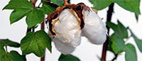 Cotton: American production below expectations