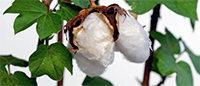Algodón: la producción estadounidense, por debajo de lo esperado