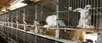 Maltraitance animale: Inditex (Zara) renonce à l'angora