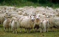 China colapsa preço da lã
