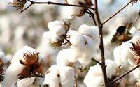 Otto Group erhöht Anteil nachhaltiger Baumwolle auf 49 Prozent