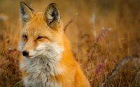 Regno Unito: alcuni deputati vorrebbero proibire la vendita di pellicce