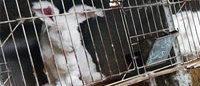 Lacoste se une a la lucha contra el uso de fibra de conejo angora