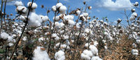 U.S. cotton farmers seen boosting acreage 6.2 pct this year