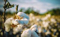 Производство органического хлопка выросло на 56%