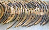 Elfenbein – noch immer boomt der verbotene Handel
