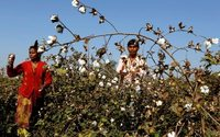 India set to cut Monsanto's GM cotton seed royalties by 20 percent