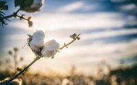 Transparente Bio-Baumwollproduktion dank Blockchain-Technologie