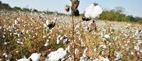 Coton : bientôt une plainte de l'Afrique de l'Ouest devant l'OMC ?