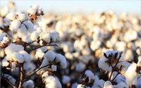 USDA raporuna göre küresel pamuk tüketimi 2018-19'da rekor düzeye ulaştı