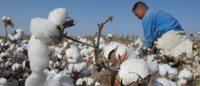 H&M, tra i maggiori utilizzatori di cotone biologico