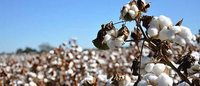 CAI pegs cotton output at 341.5 lakh bales this season