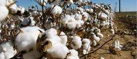Punjab, Haryana lagging behind in cotton acreage