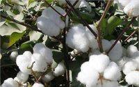Produção de algodão deverá crescer acima do consumo