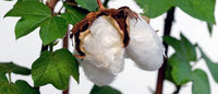 India's cotton exports to slump 41 pct as China buys less