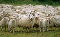 Ovelhas da Benetton ameaçadas por indígenas da Patagónia