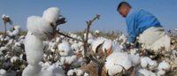 H&M é líder no uso de algodão biológico