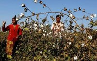 Monsanto loses Indian legal battle over GM cotton patents