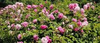 Blooming future for Bulgaria's famed rose oil