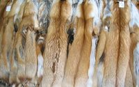 Norway to ban fur farms as fox, mink go out of fashion