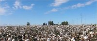 Survey finds new pest threat to Haryana's cotton crop