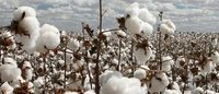 As drought shrivels crop, Pakistan cotton industry faces $4 bln bill