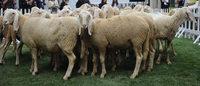 Woolmark : la campagne pour la laine investit l'Europe