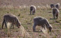 Australia cuts wool output forecast to at least 21-year low as dry weather bites