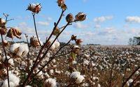 El sector español del algodón merma su producción un 6 % en 2019