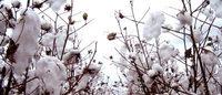Campos de algodón sufren crisis en México