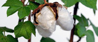 Race to the bottom: Cotton vs polyester prices
