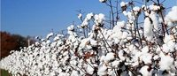 Agriculture ministry gives directives to save cotton from pests