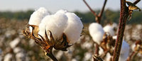Cotton's surprising bull run to end as China imports slump