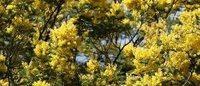 Le mimosa de la Côte d'Azur, ingrédient secret des parfumeurs